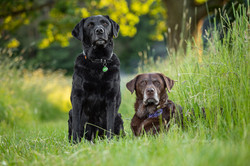 Labradors portrait in meadow, Tom Harper Photography