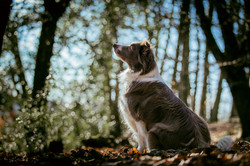 Border collie in profile, with woodland and sunlight behind, Tom Harper Photography