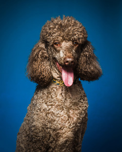 Brown poodle dog with tongue out in front of blue background