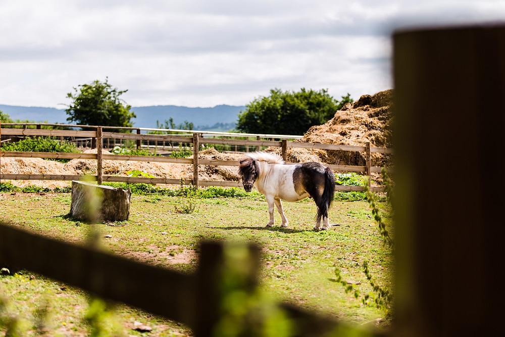 Shetland pony in the paddock
