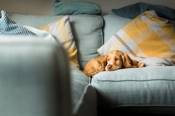 Cocker spaniel puppy relaxing on blue sofa, Tom Harper Photography