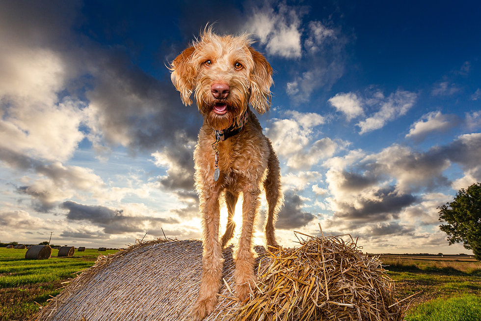 Labradoodle on hay bail during sunset