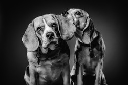 Two funny beagles against a dark studio background.