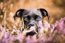 Terrier dog among pink flowers with bright sunny background