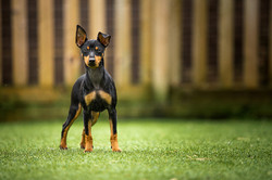 Miniature Terrier in front of wooden fence in back garden, Tom Harper Photography
