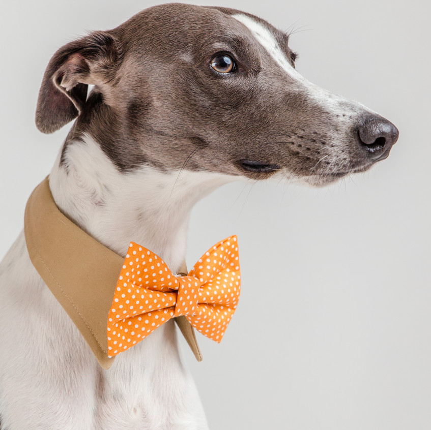 Ron, Whippet