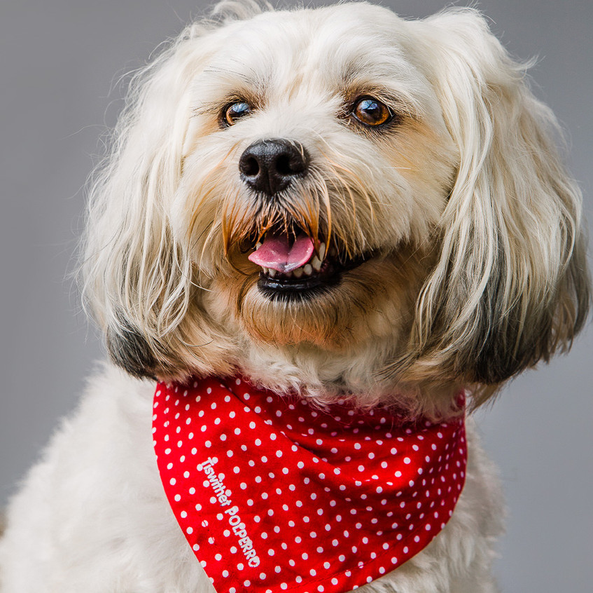Wilfred ,Shihpoo, Dog Photography