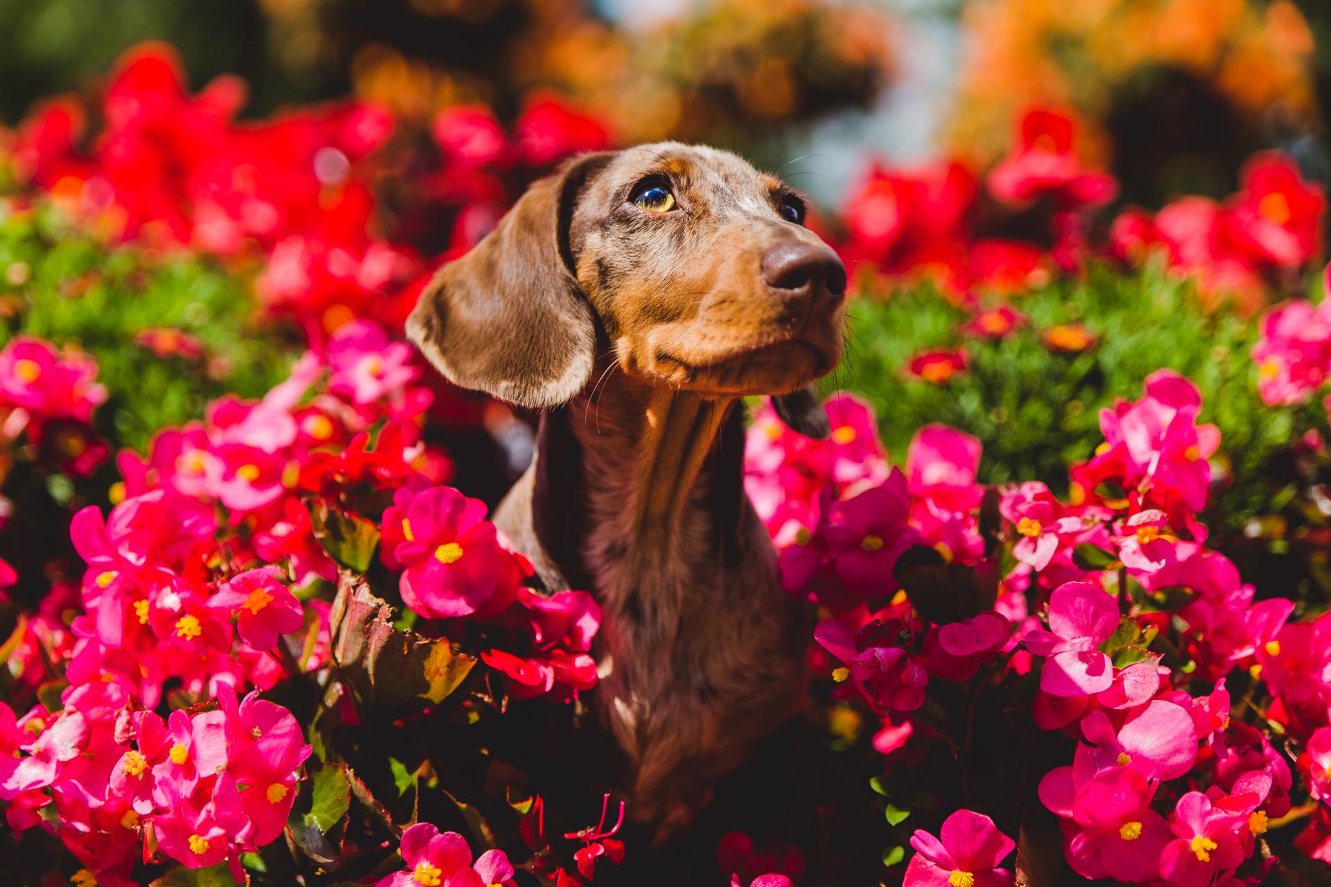 Miniature Dachshund in flowers