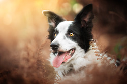 Border collie in ferns with autumn colours and sunny background