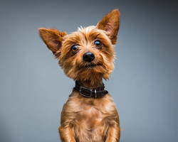 Cute Yorkshire terrier dog standing on back legs and looking towards camera.