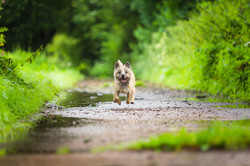 Cairn terrier jumping through puddles between hedgerows and running towards camera, Tom Harper Photo