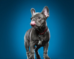 French bulldog puppy licking nose in front of blue background.