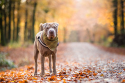 Shar Pei standing on  a woodland path with sunny background, Tom Harper Photography