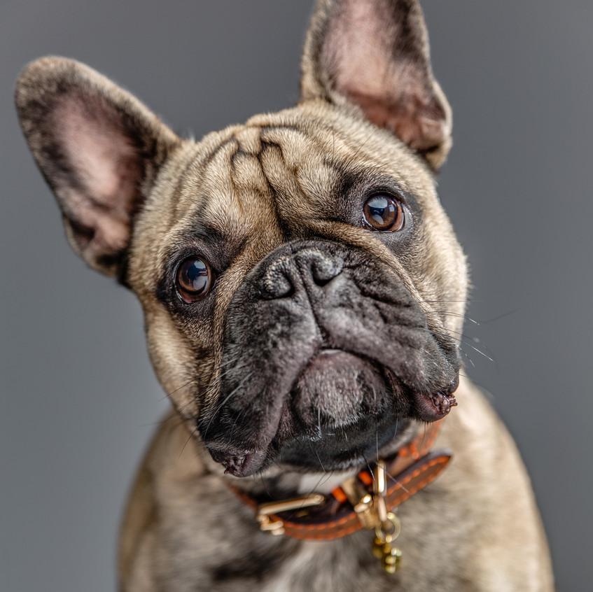 Winston, French Bulldog
