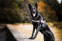 Black German Shepherd with front paws up on a wall surrounded by autumn colours.