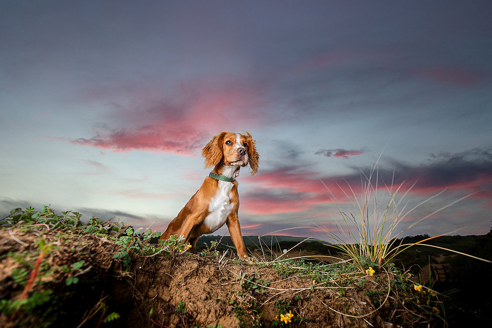 Cocker spaniel portrait, wide angle with sunset background