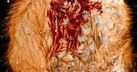 muskrat roadkill