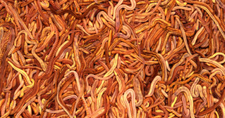 red wrigglers