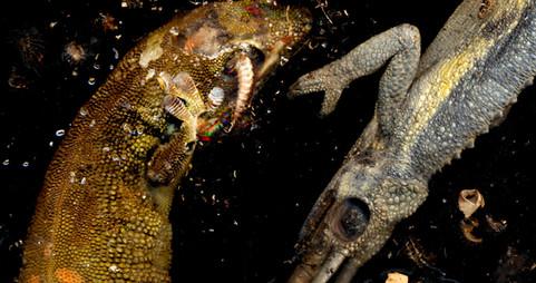 chameleon and gecko