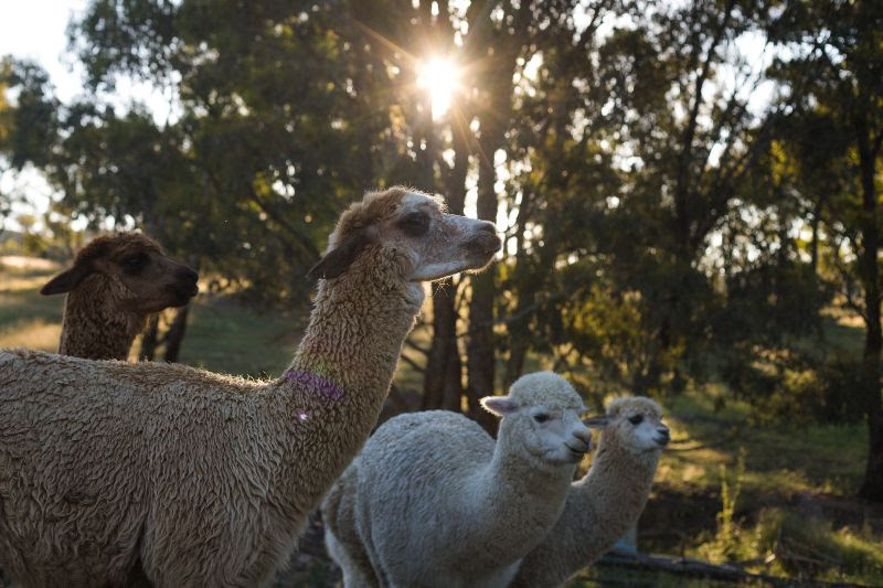 Tiny Houses, Tiny away, Alpacas, feature story by Brilliant-Online