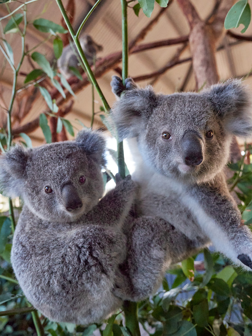 Koalas at Billabong Zoo, Koala and Wildlife Park, Adopt A Koala, feature story by Brilliant-Online