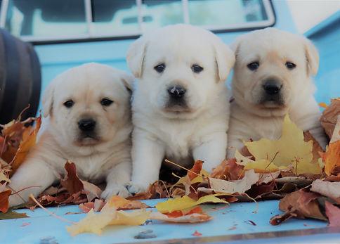 3 fall puppys.jpg