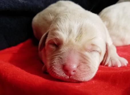 1,2,3,4, Male puppy's!