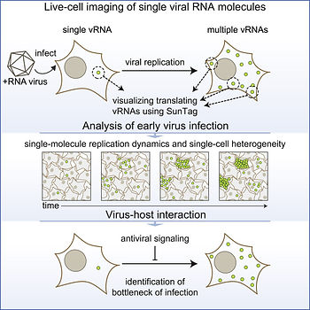 Live-cell imaging of single viral RNA mo
