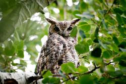 Barn Owl :: Colorado