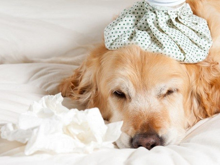 How to treat a dog cold