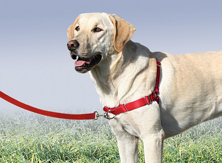 Harnesses, Head Collars, and Traditional Collars: Which is right for you?
