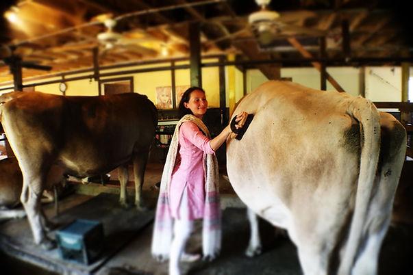 Copy of Cow 16.jpg