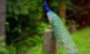 peacock2.jpg