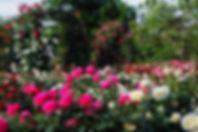 rose garden3.jpg