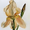 Thumbnail: One Golden Iris
