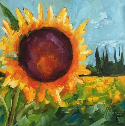 Sunflower Field in Avignon
