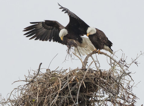 Action Alert: Protect Bald Eagles Nest from Fracking