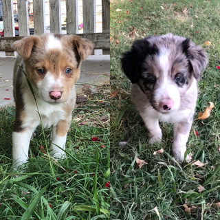 Border Collie puppy for sale