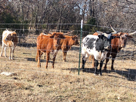 Why Miniature Texas Longhorns