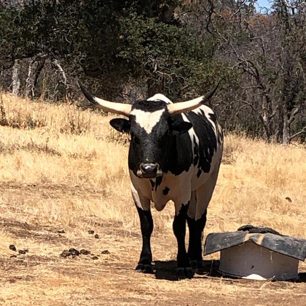 Mini longhorn bulls