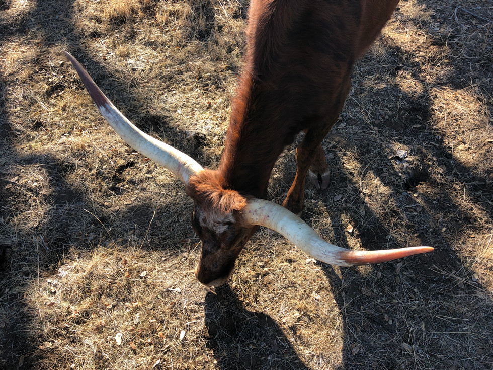 ruby horns twisting miniature texas longhorn