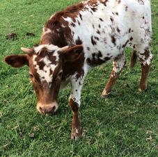 Spot it- Mini Longhorn steer
