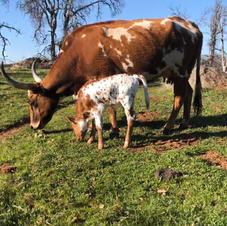When will she calf?
