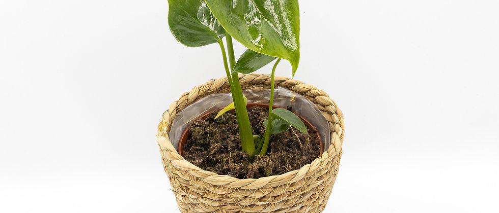 Fruit salad plant Melbourne online