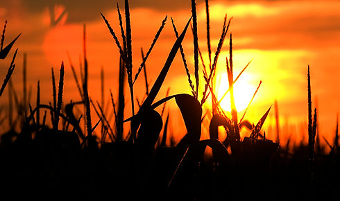 cornfield-sunset-1.jpg