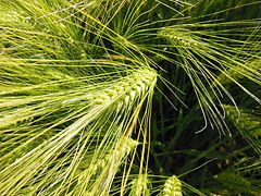 180803 - Winter Barley.jpg