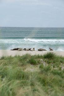 Seals on the South Beach, Sable Island
