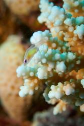poisson translucide