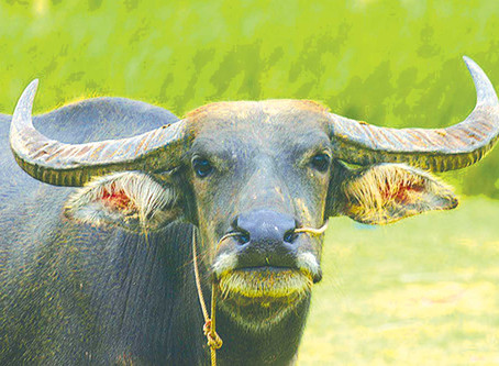 Acupuncture can boost carabao productivity, studies show