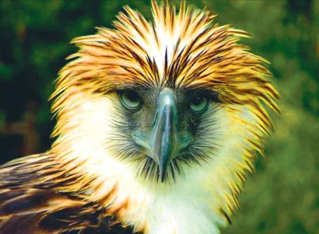 Philippine Eagle Pamana Shot